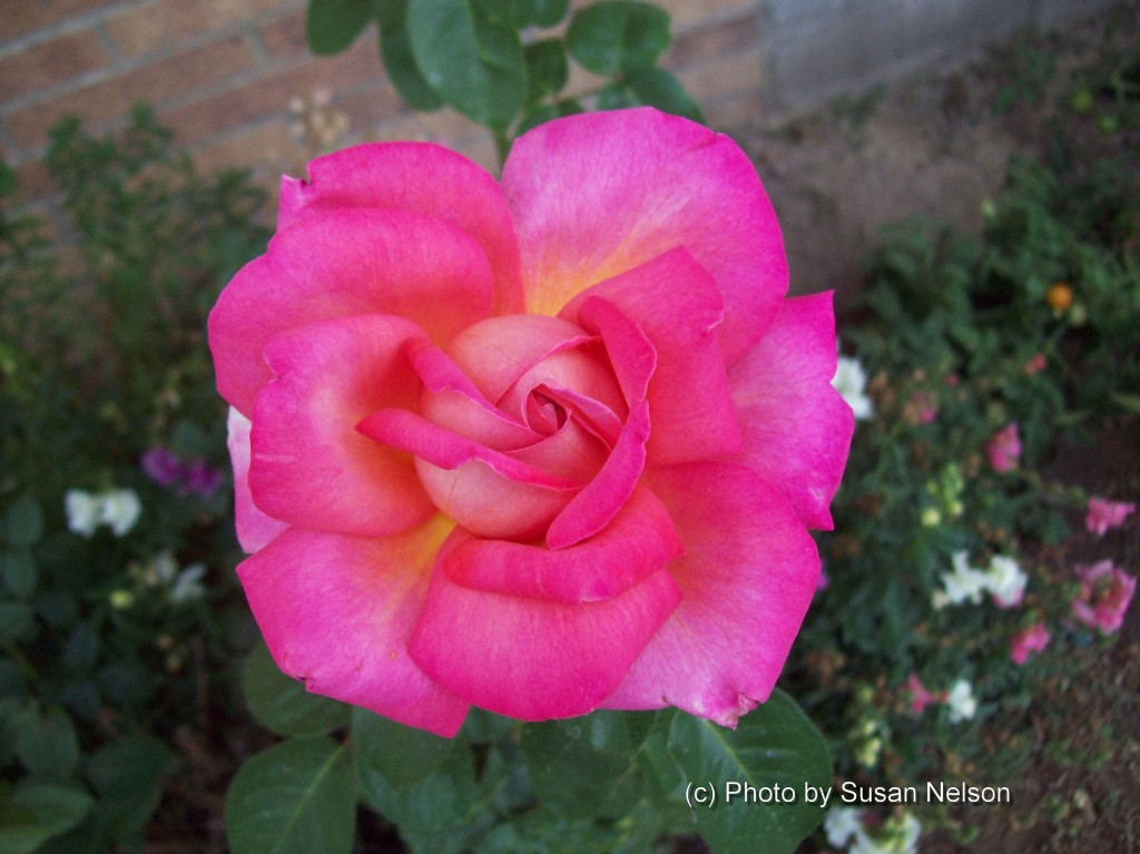 """""""THE PINK ROSE""""  Photo by Susan Nelson"""